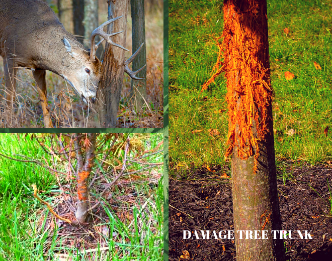 why do deer rubbing trees