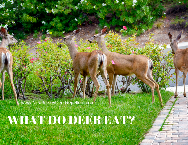 what do deer like to eat