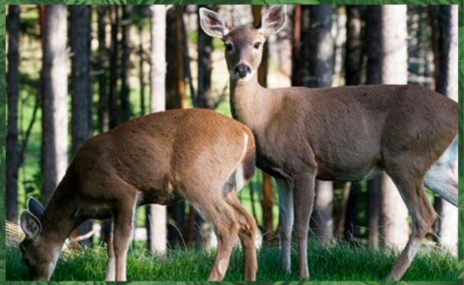whitetail deer biology behavior characteristics in new jersey