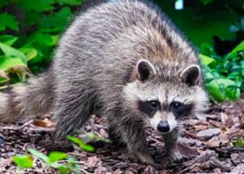 raccoon repellent nj - raccoons control service in new jersey