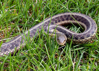 snake repellent nj - snakes control service new jersey