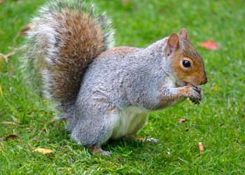 squirrel repellent nj - squirrels control service in new jersey